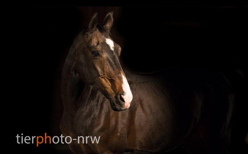 Pferd vor dunklem Hintergrund